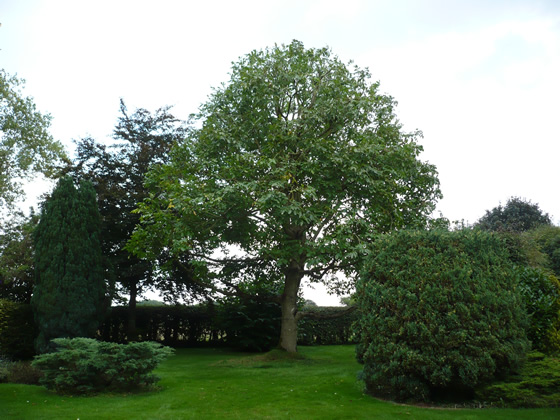 crown reduction on mature walnut tree 2